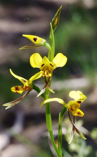 tiger orchid  diuris sulphurea  native to the eastern states of australia as well as south