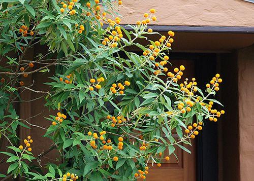 Orange Ball Tree Buddleia Globosa Sherbet Flowers In Round Cers May