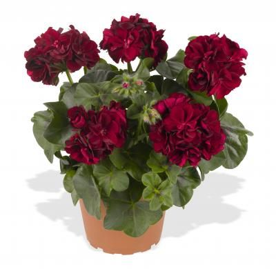 Ivy Geranium Great Balls of Fire series  Dümmen's new Great Balls of Fire series of ivy geraniums has eight colors.