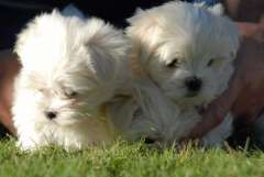 Gorgeous Female Maltese Puppies Maltese Puppies For Sale