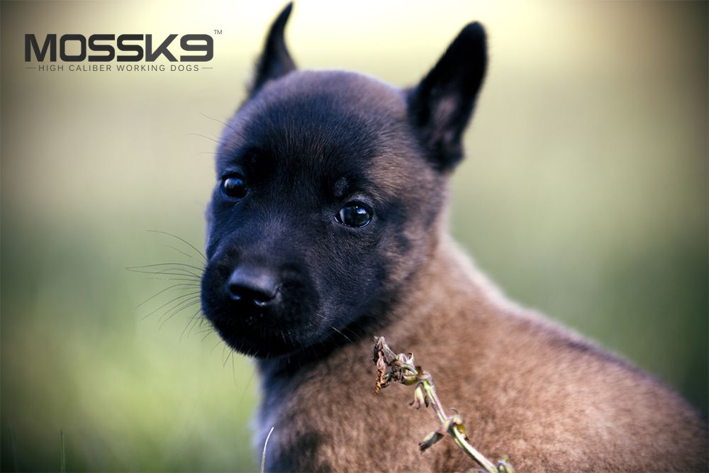 Belgian Malinois Puppy Moss K9 Cute Baby Animals Puppy Belgian Malinois Puppies Malinois Puppies Malinois