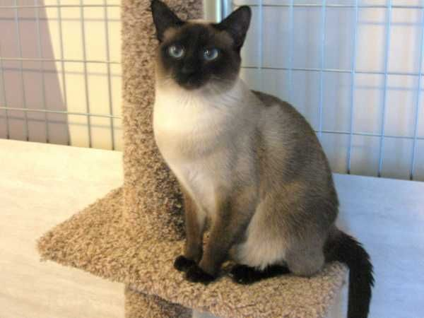 403 Forbidden Siamese Cats Siberian Cats For Sale Seal Point Siamese