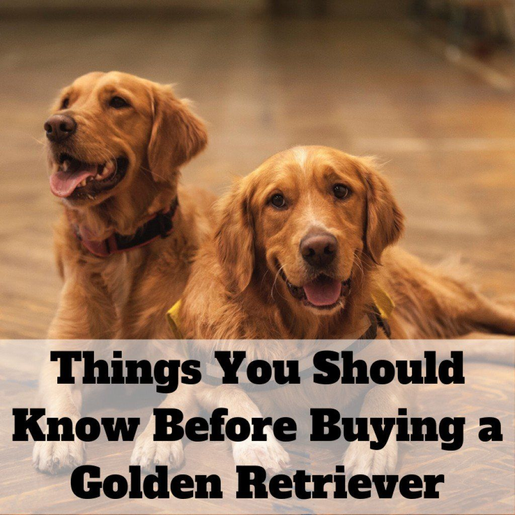 best dog food for golden retrievers philippines