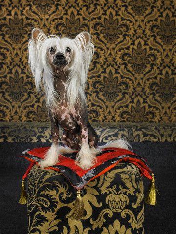 Chinese Crested Dog Chinese Crested Chinese Crested Dog Chinese Crested Hairless