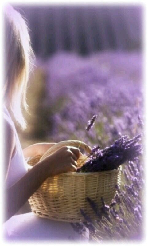 Pin by Yvonne Pieters on Lavender Lavender fields