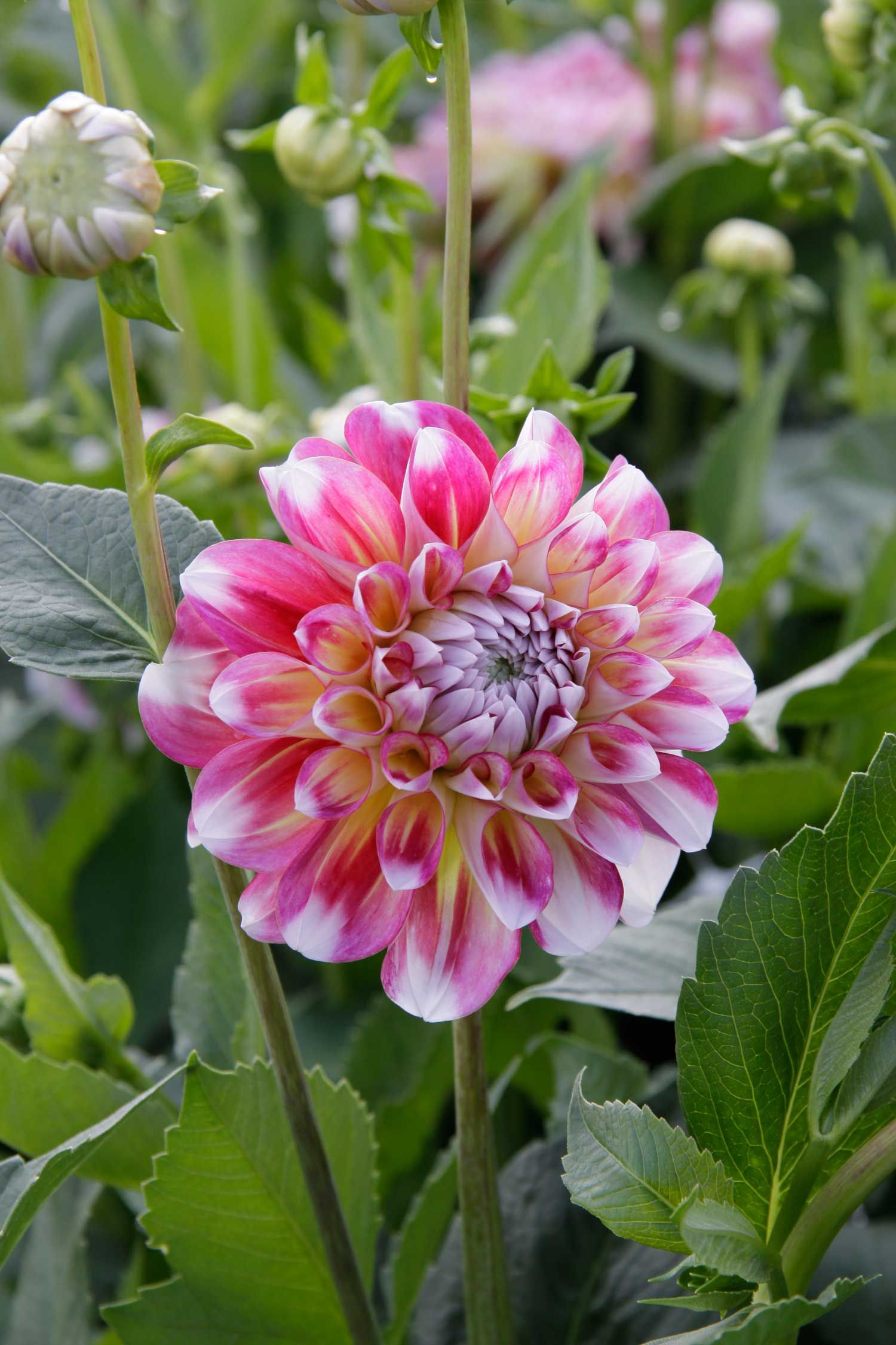 Know your dahlias flower styles and sizes dahlia large decorative is the largest category of dahlias and offers the widest range of colors and styles youll find many excellent heirloom varieties as well as a izmirmasajfo