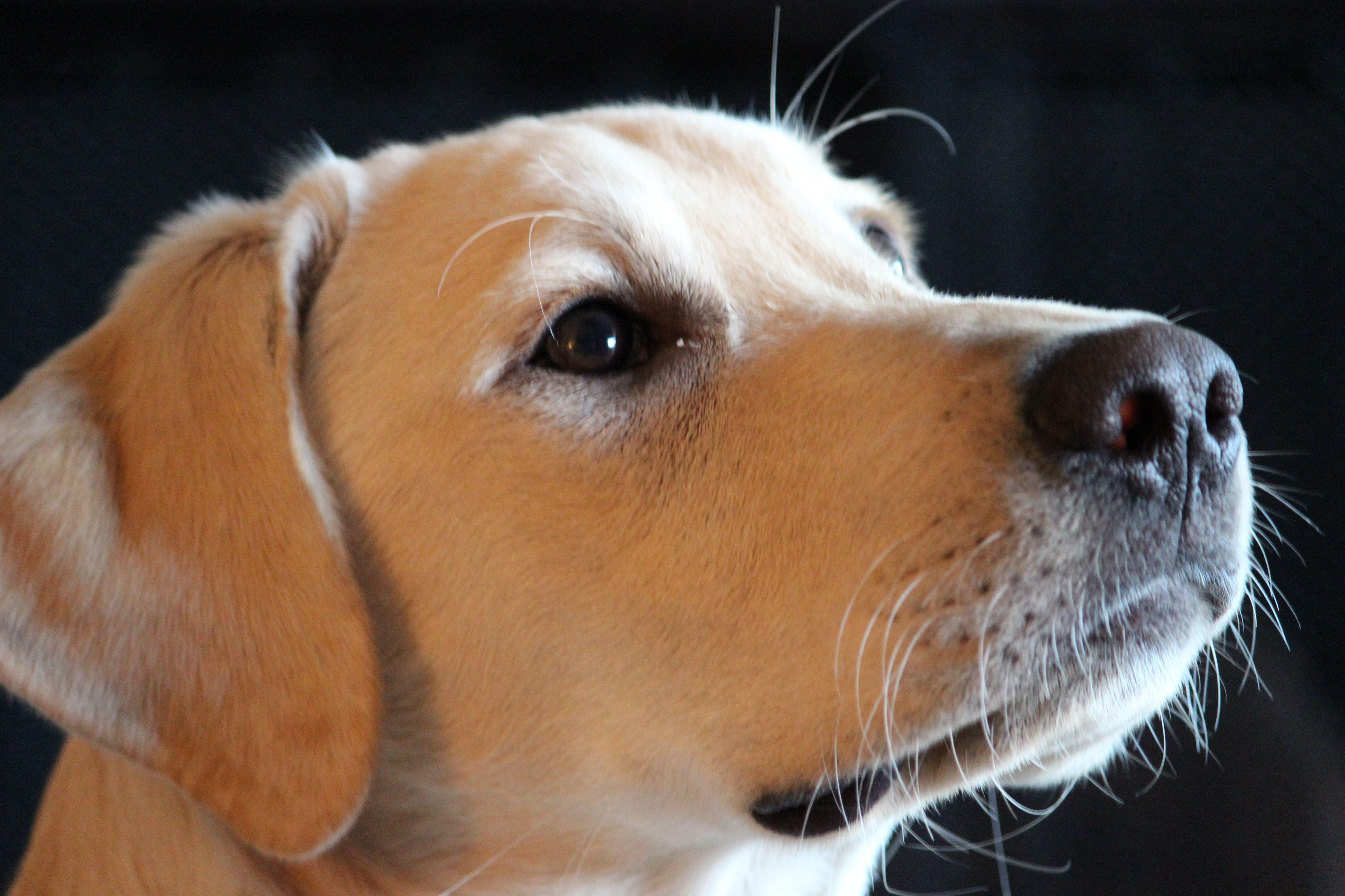 Memphis labrador retriever golden retriever puppies