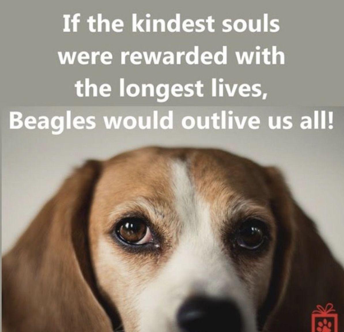 Pin By Julie Antioch On Beagles Beagle Puppy Beagle Beagle Dog
