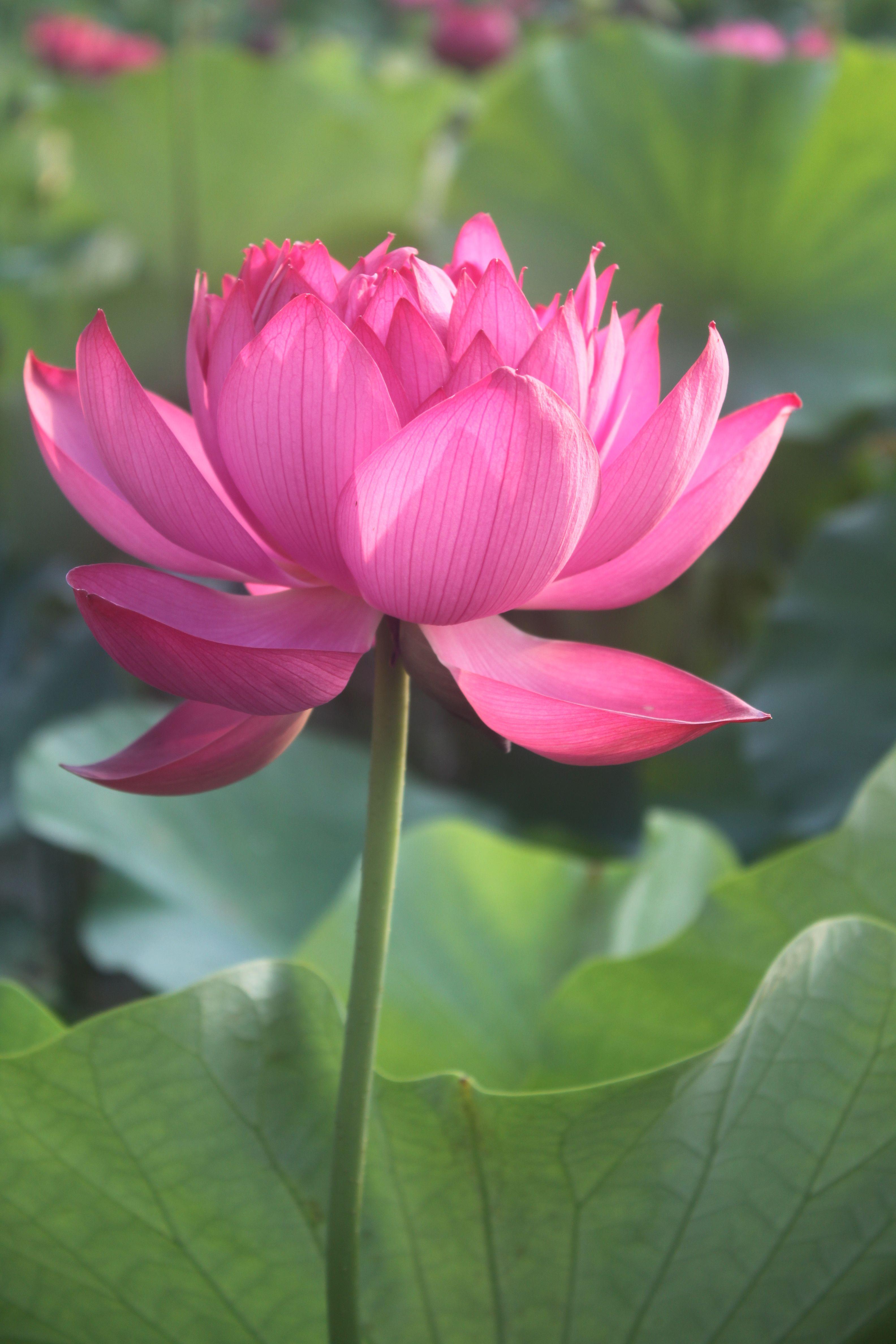 Chinese Red Jinggangshan Bergenwatergardens Chinese Lotus