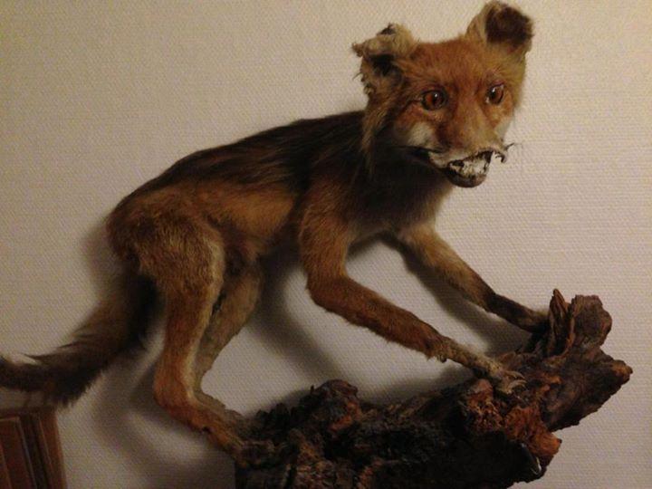 badly stuffed foxes bizarre taxidermy bad taxidermy