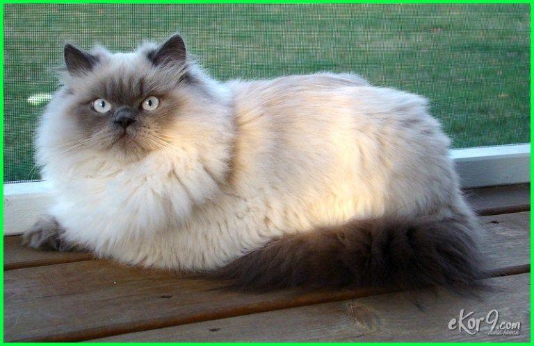 Download 67+ Gambar Kucing Himalaya Paling Bagus Gratis