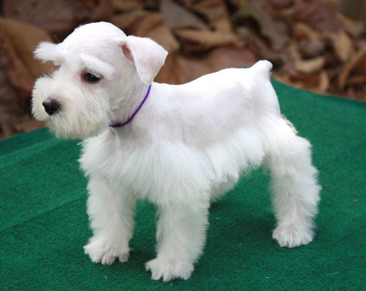 White Miniature Schnauzer white schnauzer...