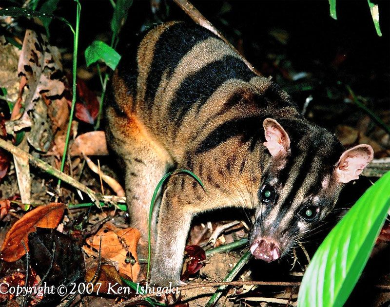 banded palm civet (Hemigalus derbyanus), also called the