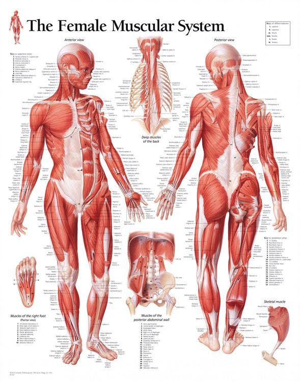 AnatoRef — Female Anatomy Reference Top Row Row 2: Drawing ...