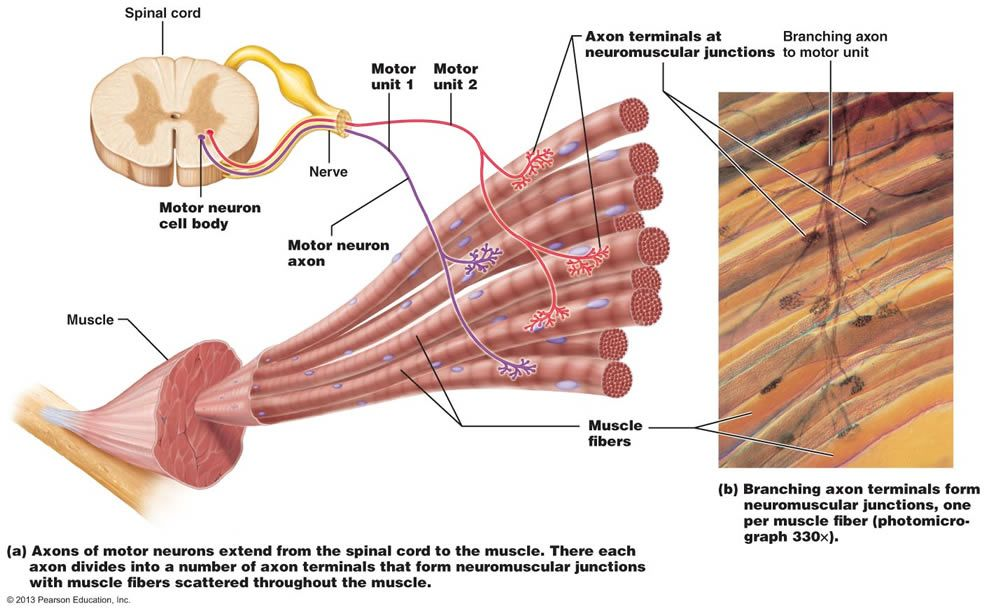 Chapter 9: Muscles and Muscles Tissue | Muscles | Pinterest | Muscle ...