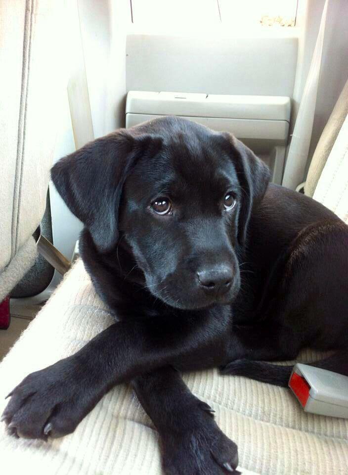 Popular Labrador Retriever Black Adorable Dog - bcda7c684a8c3edf79a726e2b4016b33  Pic_33913  .jpg