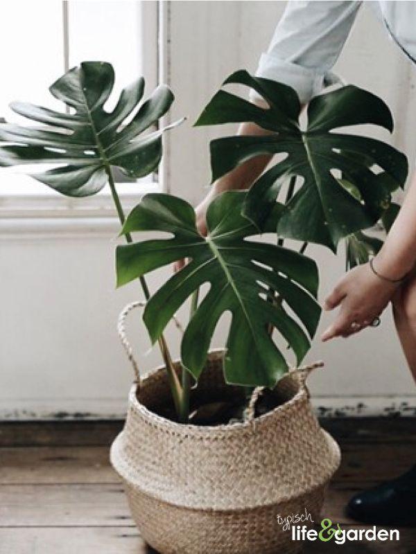 Prachtige groene gatenplant in rieten mand  THEMA
