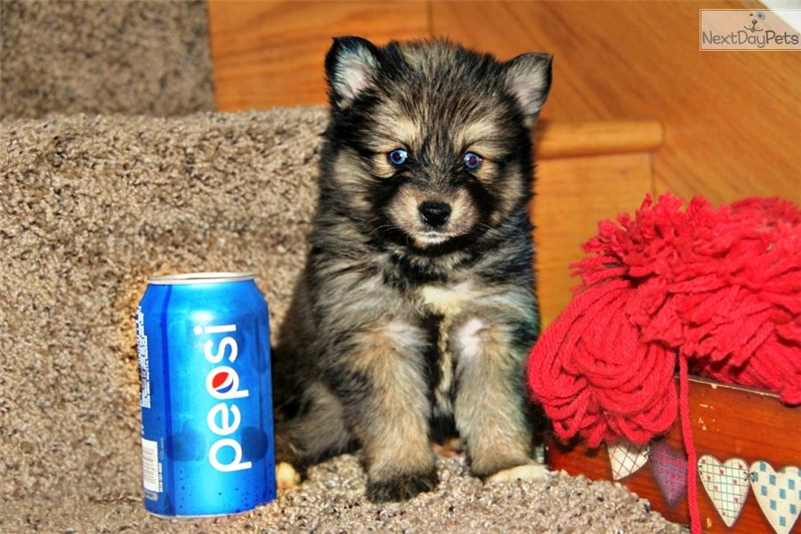 Pomsky puppy for sale near Bowling Green, Kentucky