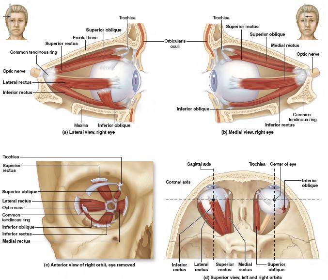 Idea by Vindeshverma on Maxillary sinus Body name