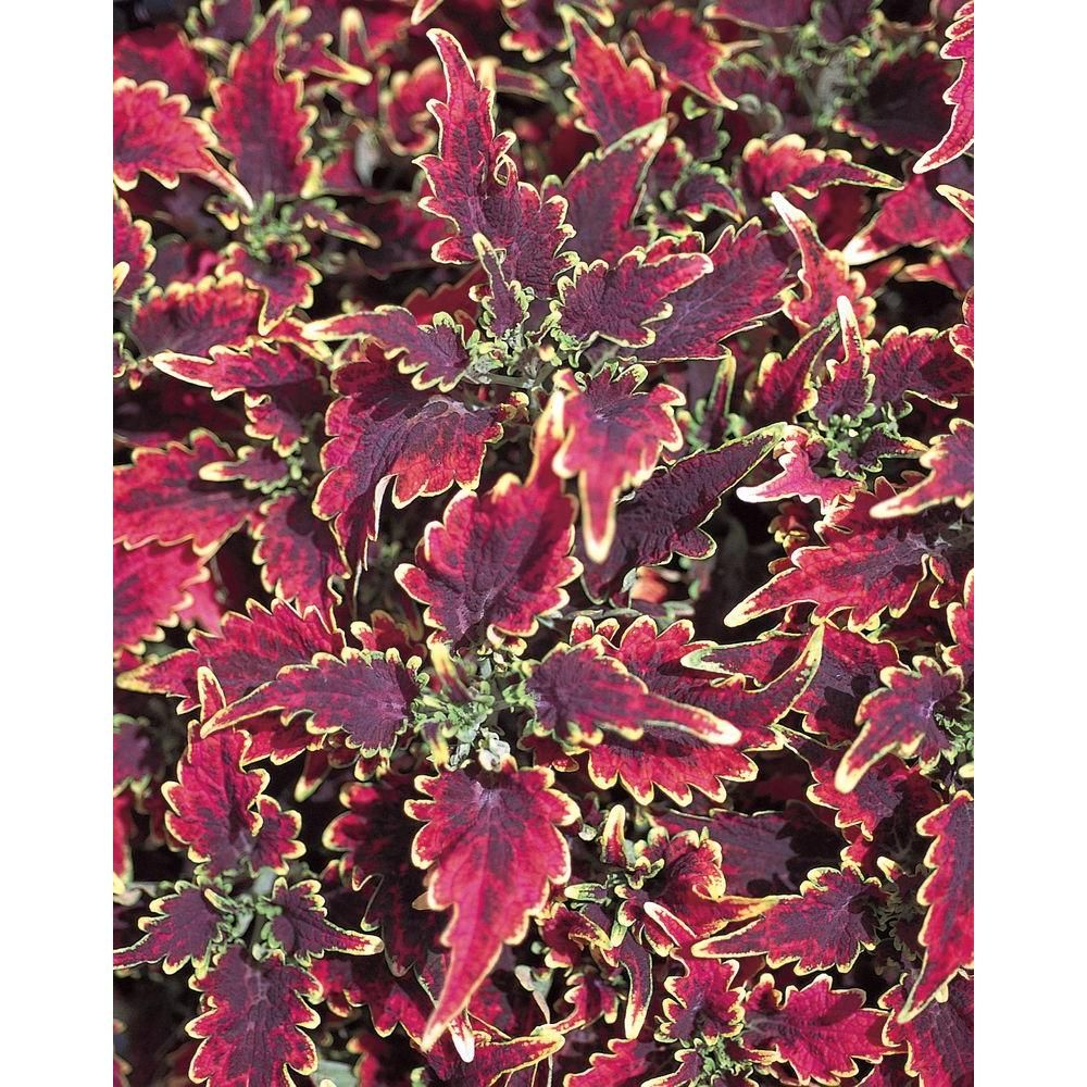 PROVEN WINNERS 4Pack, 4.25 in. Grande Sky Fire Coleus