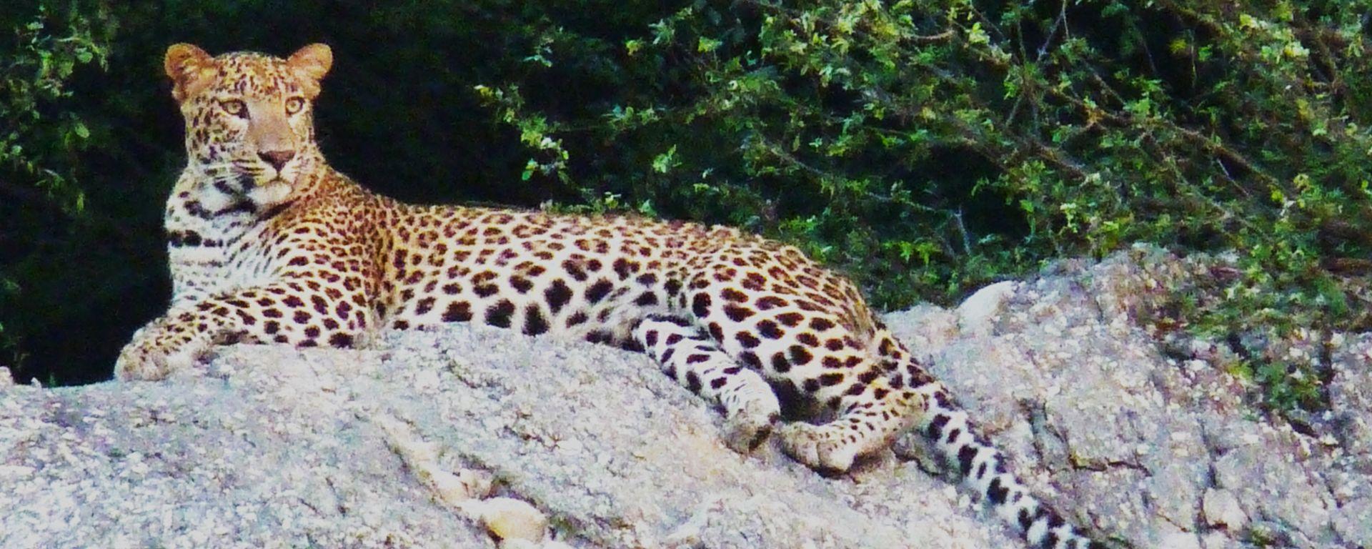 Leopards of Bera, Rajasthan http://www.tripoto.com/trip/leopards-of-bera-rajasthan-157466  #Airplane #travel #wildlife