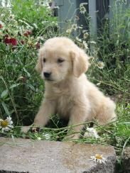 Golden Retriever Breeder Puppies For Sale In Mn Tails Of Gold