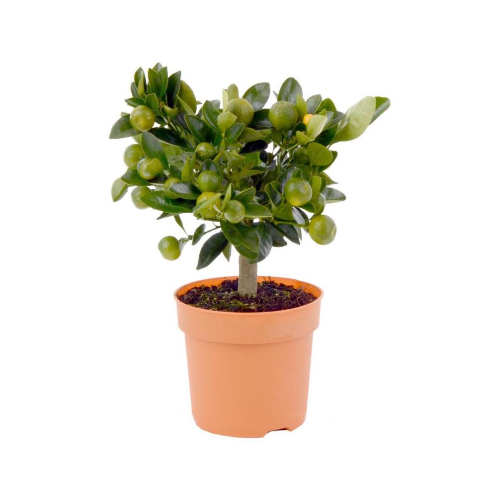 Cytrus Mix 40 45 Cm Kwiaty Doniczkowe W Atrakcyjnej Cenie W Sklepach Leroy Merlin Planters Planter Pots Pot