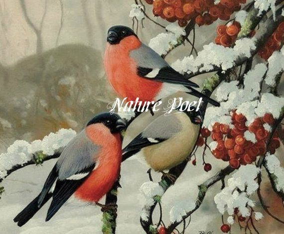 Birds Red and Black Male and Female in Winter by naturepoet