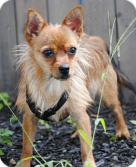 Matawan Nj Chihuahua Yorkie Yorkshire Terrier Mix Meet Benji