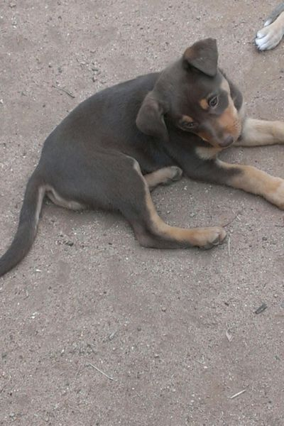 Labrador X Kelpie Dogs Puppies Gumtree Australia New South