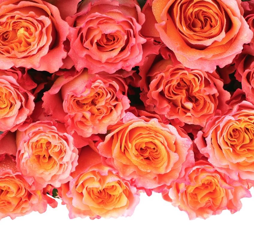 Free Spirit Rose, Ecuador grown. Free spirit rose