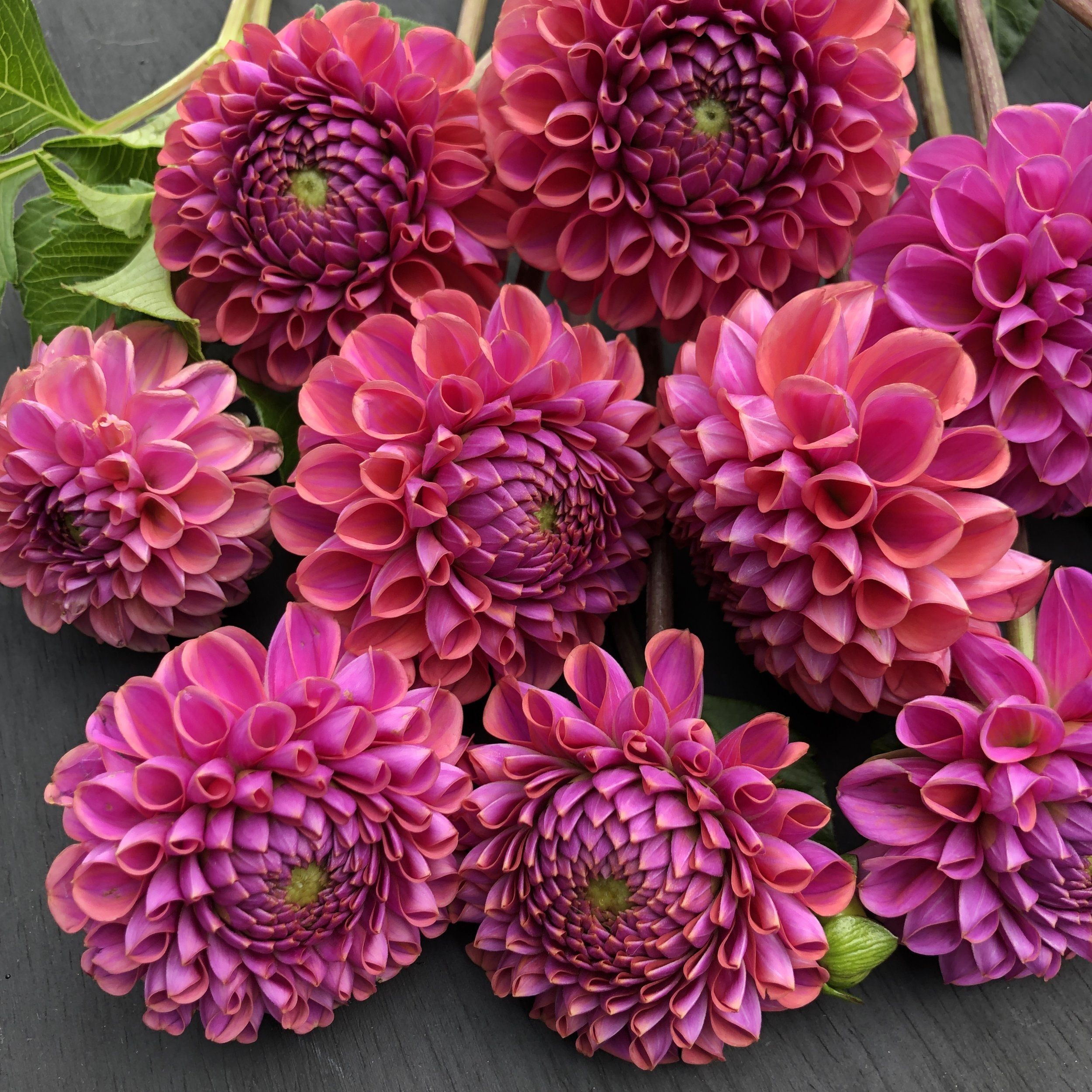 Dahlia Isabel Dahlia Flower Arrangements Flowers