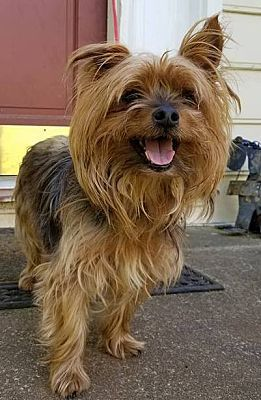 Lawrenceville Ga Yorkie Yorkshire Terrier Meet Teddy A Dog