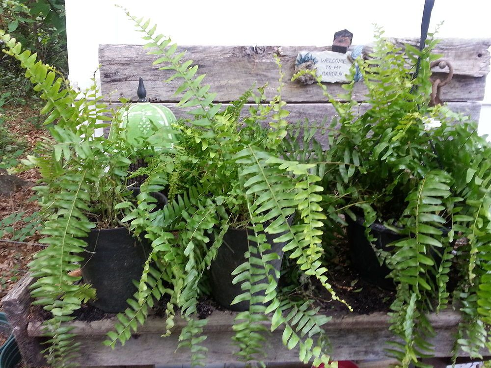 Stretching a Clients Plant Budget With Ferns Fern Budgeting and