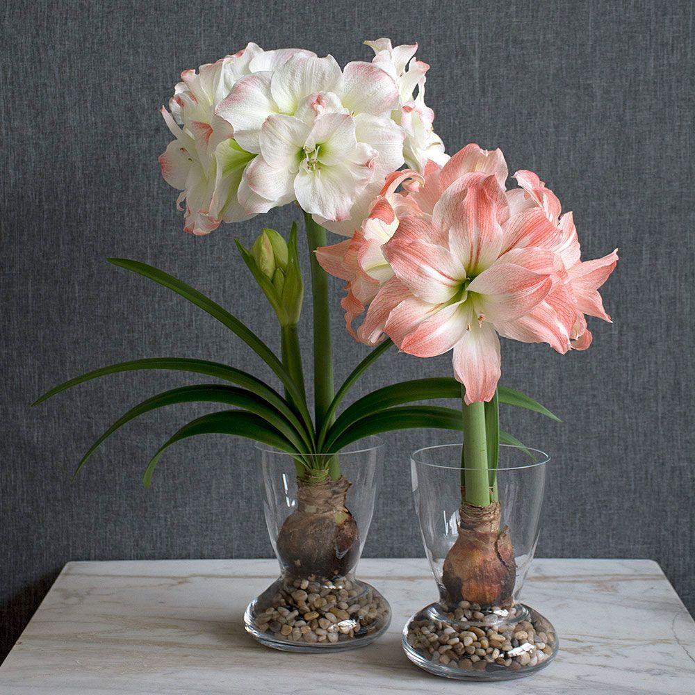 Amadeus Amaryllis Duo Two Bulbs With Two Dutch Hurricane Vase Kits White Flower Farm Amaryllis Bulbs Bulb Flowers