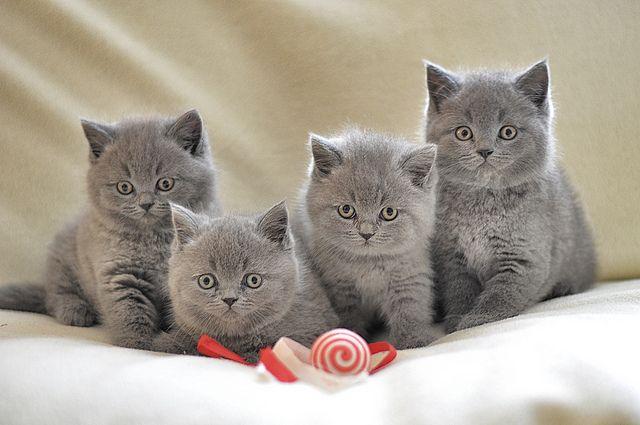 Bkh Kitten Britisch Kurzhaar Katzen British Shorthair Cats