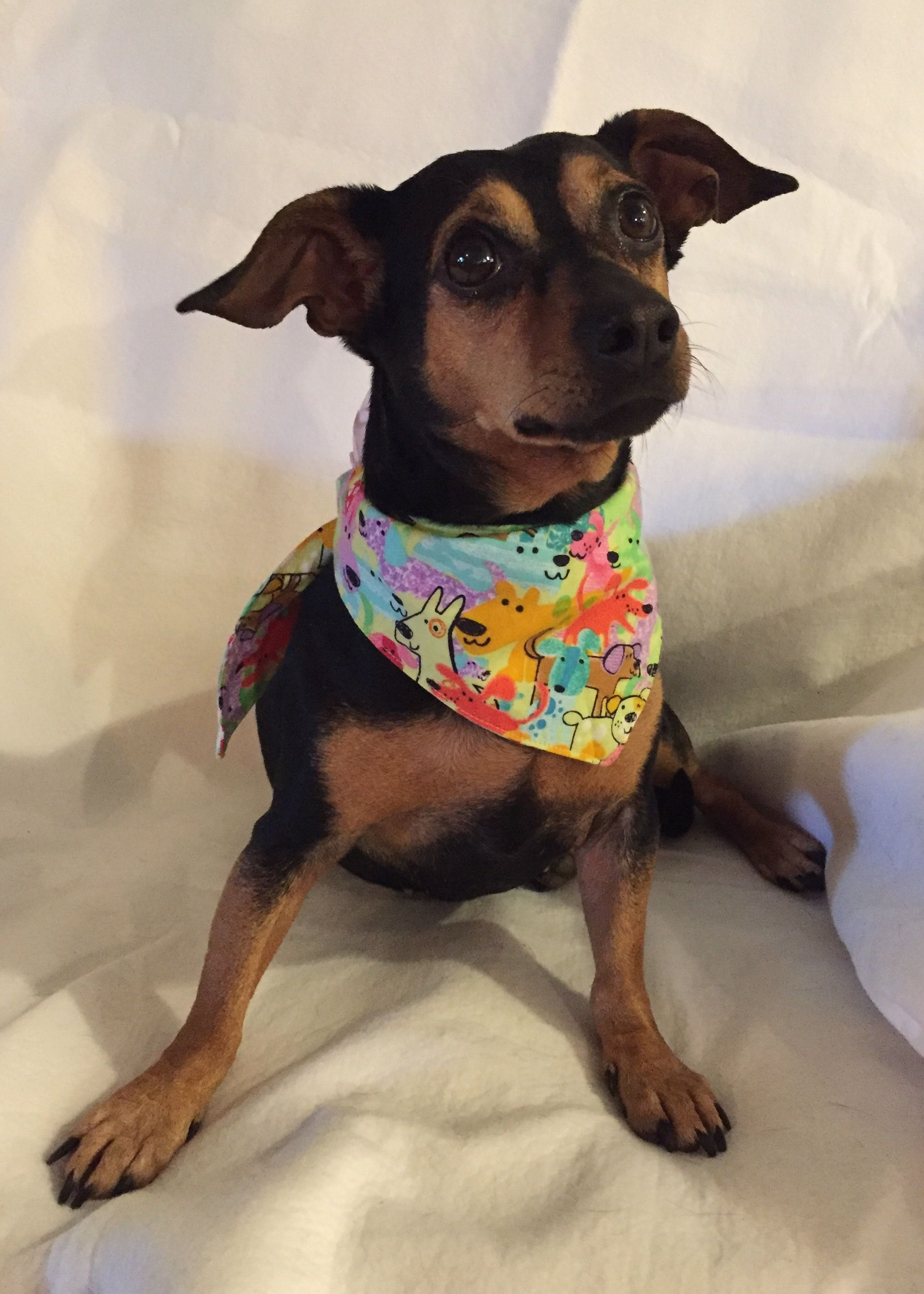 Chiweenie dog for Adoption in Texarkana, TX. ADN419051 on