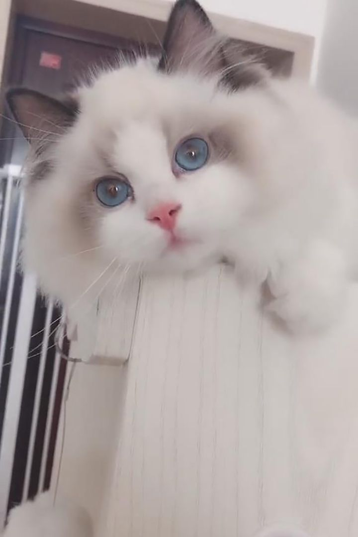 Which Cat Is Right For You Cat Breeds Types Of Cats Ragdoll Cat