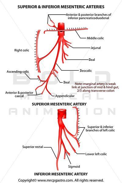 Superior and Inferior Mesenteric Artery | Anatomy | Pinterest