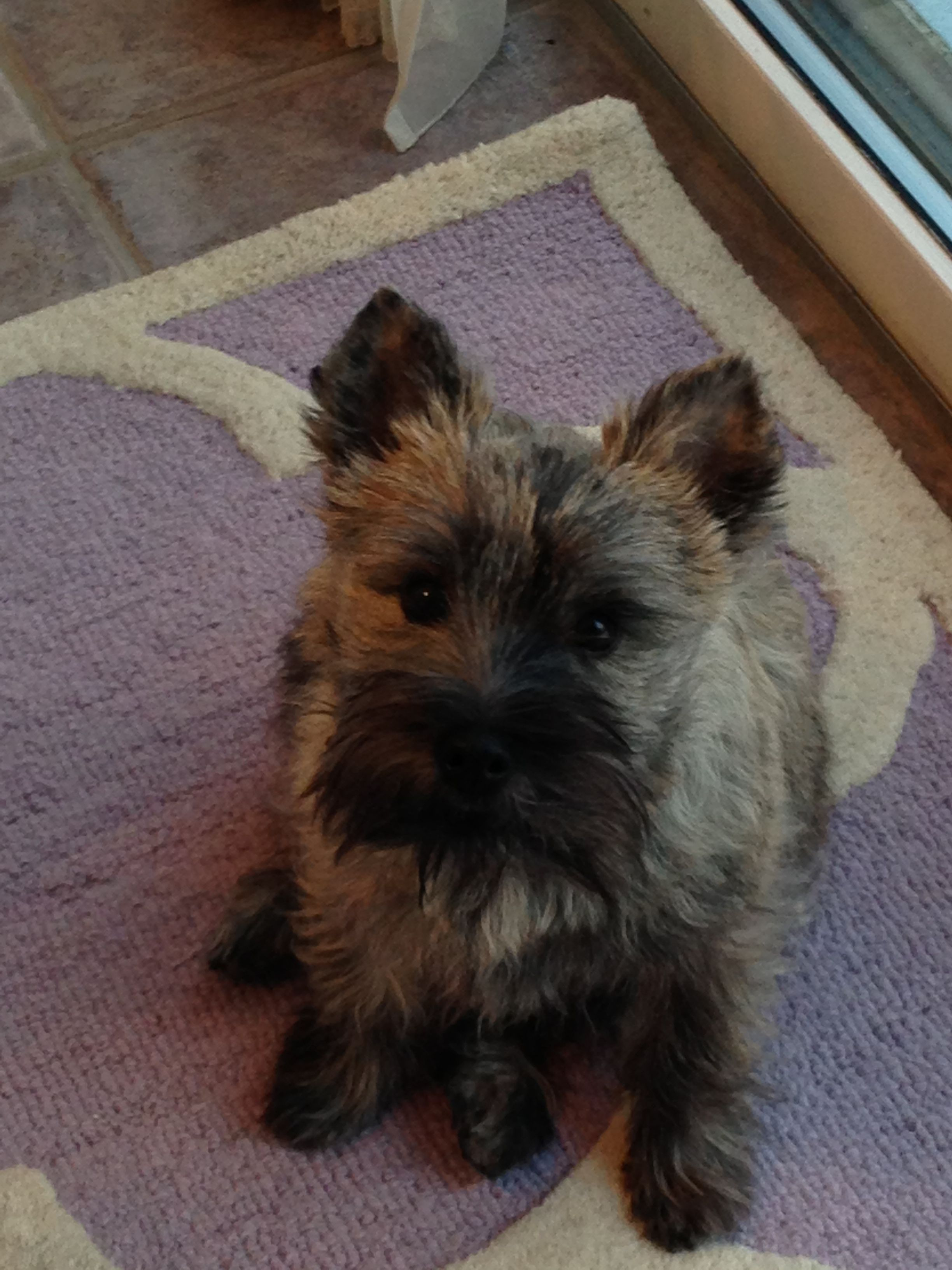 Baby Boy Cairn Terrier God Loves A Terrier Cairn Terrier