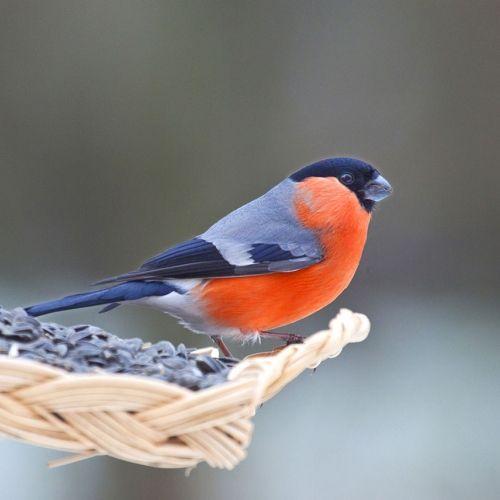 les oiseaux du jardin les accueillir les reconna tre et les prot ger aves pinterest. Black Bedroom Furniture Sets. Home Design Ideas