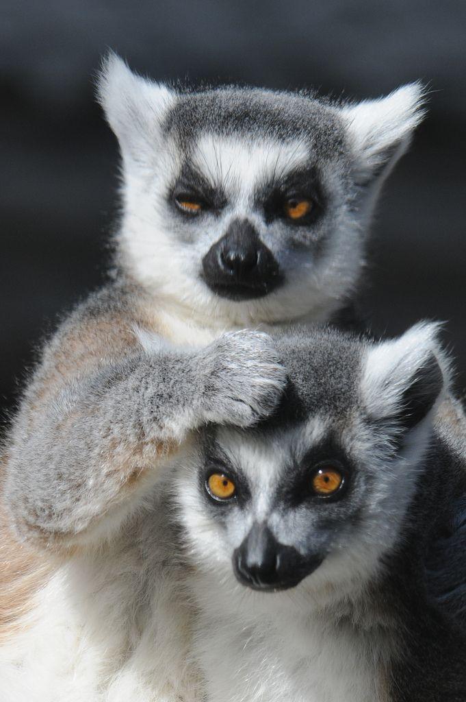 :Lemurs by Valerie on Flickr.