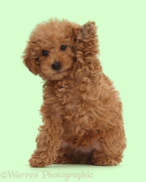 Red Toy Labradoodle Puppy Waving Labradoodle Puppy Puppies