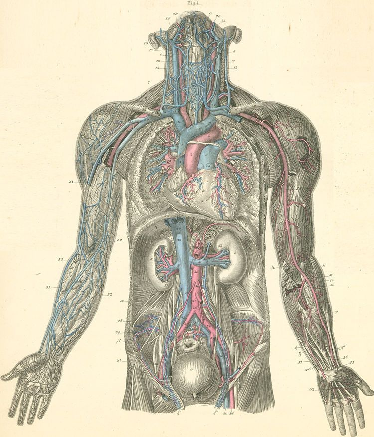 An overview of the blood vessels of the neck, thorax, abdomen and of ...