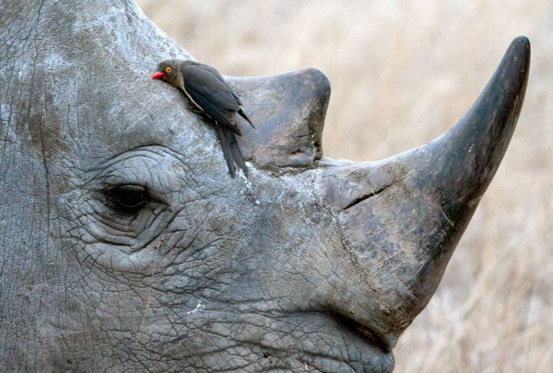 oxpecker bird and rhinoceros relationship help
