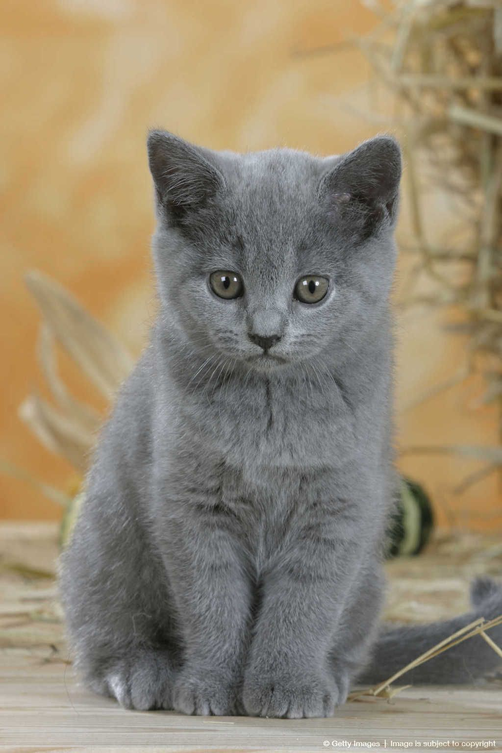 Image Detail For British Shorthair Cat Kitten Blue American Shorthair Cat Cats British Shorthair Kittens