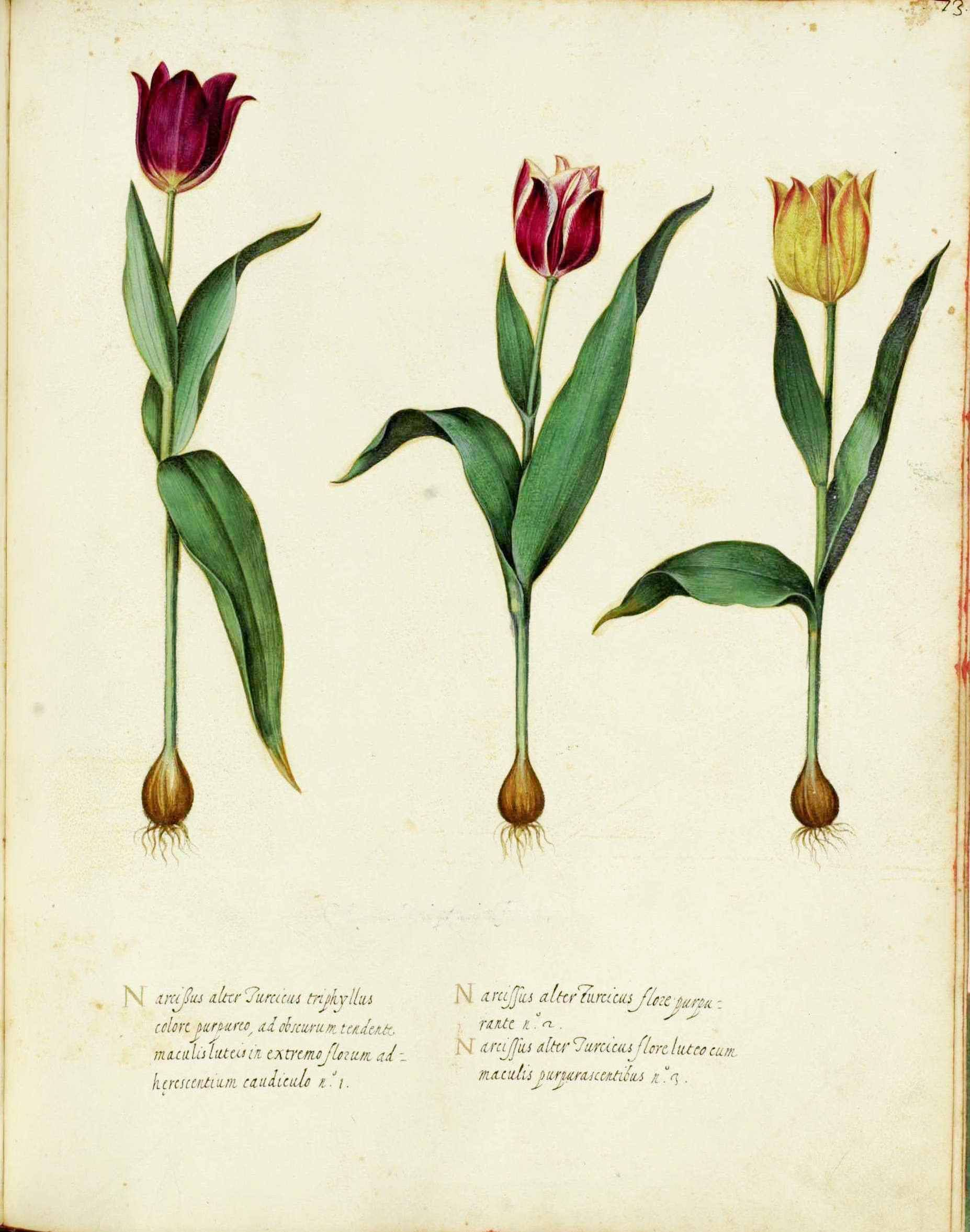 Pin By Amber Mae Bailey On Floral Tattoos Botanical Prints Free Tulips Art Botanical Flowers