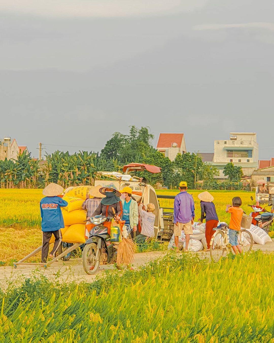 Vụ mùa đến,  nhà nhà đều vui . . . . . .  #photography #picoftheday #photooftheday #travel #vietnamtravel #vietnam #city...