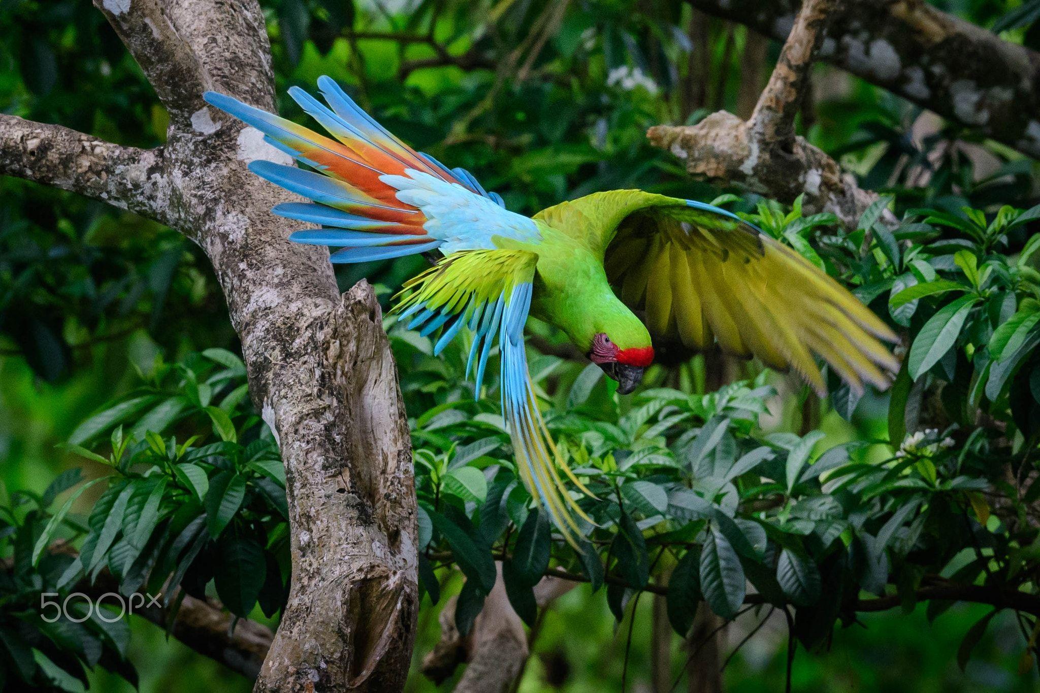 Great Green Macaw in Costa Rica - Great Green Macaw in Manzanillo, Costa Rica