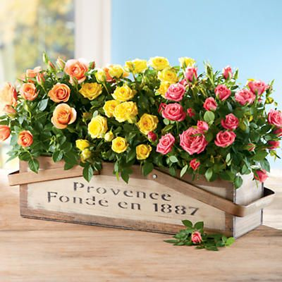 Mini roses plant gift these mini roses are expertly grown and easter mini roses plant gift negle Choice Image